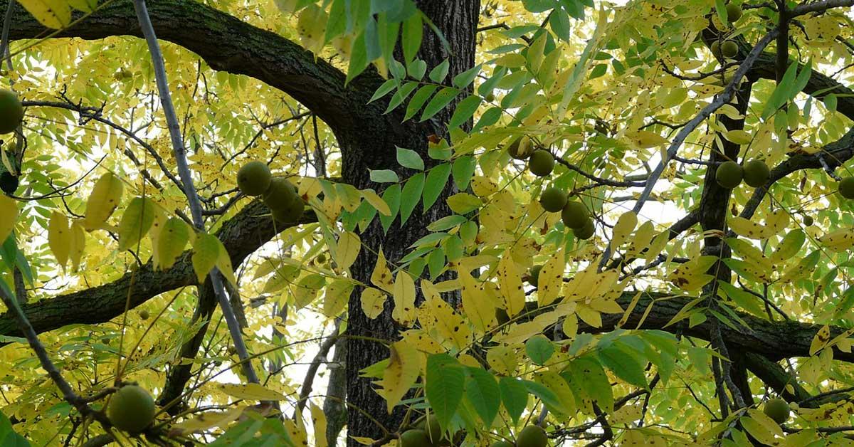 black-walnut-tree