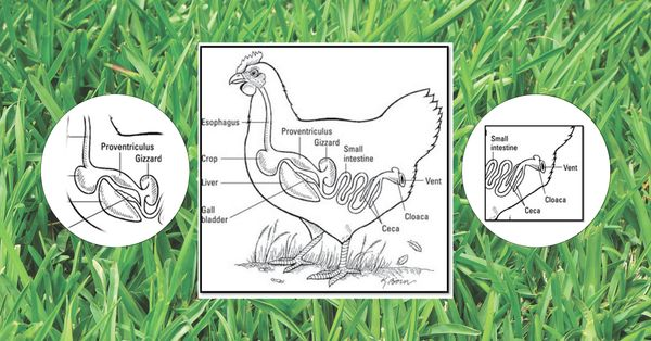 The Poultry Digestive Tract